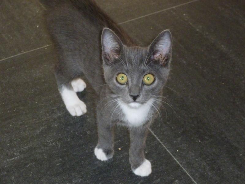 LUNA, très belle petite chatonne bleue avec petites pointes blanches de 3 mois P1040519