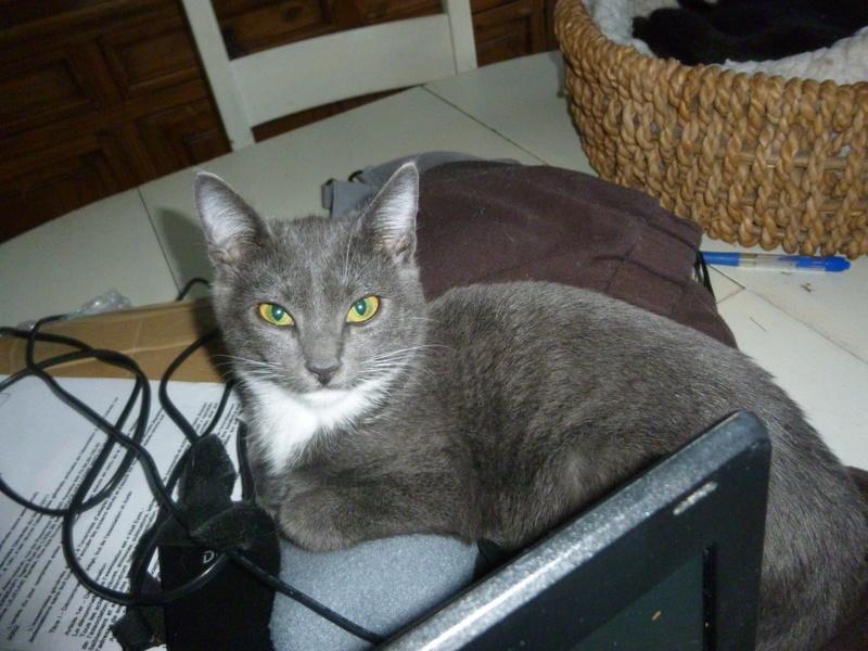 LUNA, très belle petite chatonne bleue avec petites pointes blanches de 3 mois P1040610
