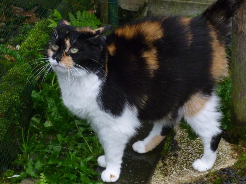 Fifille, belle petite chatte tricolore à poils mi longs de 7 ans P1040611