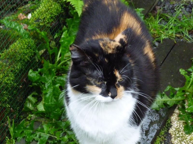 Fifille, belle petite chatte tricolore à poils mi longs de 7 ans P1040612