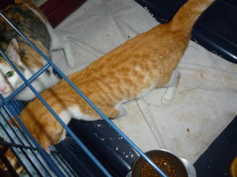 NINA ET NINO, adorables petits chatons de 4 mois P1040613