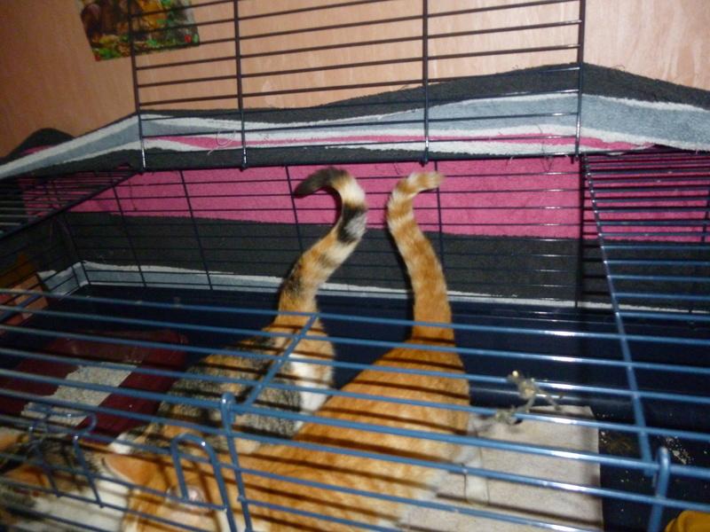 NINA ET NINO, adorables petits chatons de 4 mois P1040616