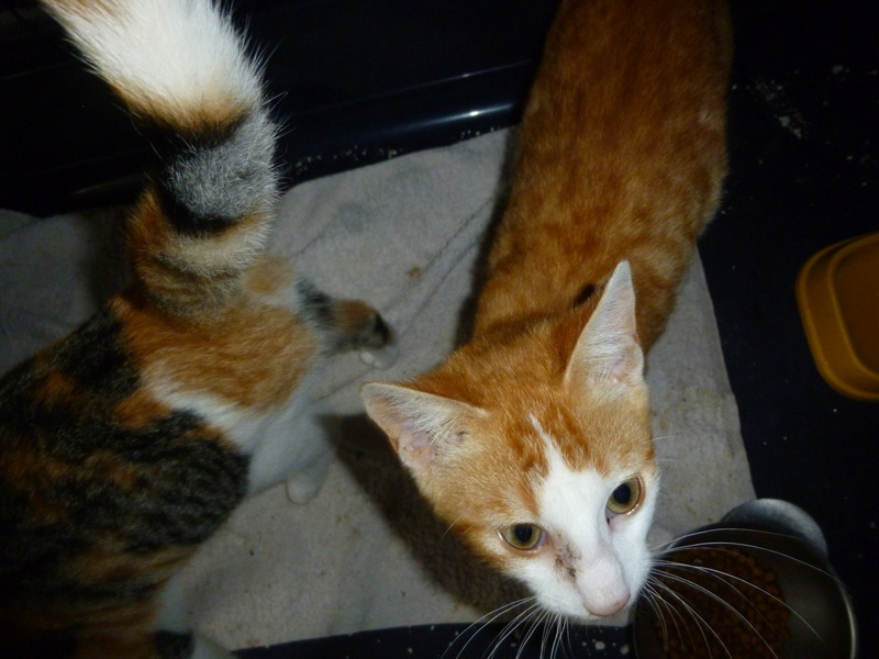 NINA ET NINO, adorables petits chatons de 4 mois P1040617