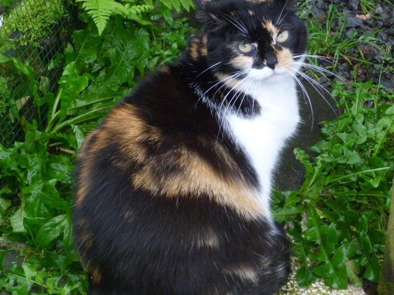 Fifille, belle petite chatte tricolore à poils mi longs de 7 ans P1040710
