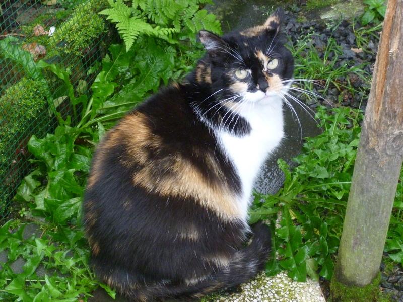 Fifille, belle petite chatte tricolore à poils mi longs de 7 ans P1040711