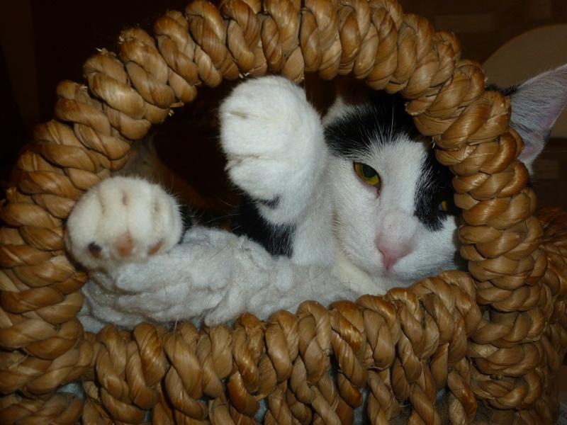 MACHA, très belle chatte junior de 8 mois, noire et blanche - Page 3 P1040720