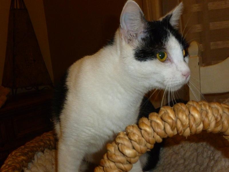 MACHA, très belle chatte junior de 8 mois, noire et blanche - Page 3 P1040721