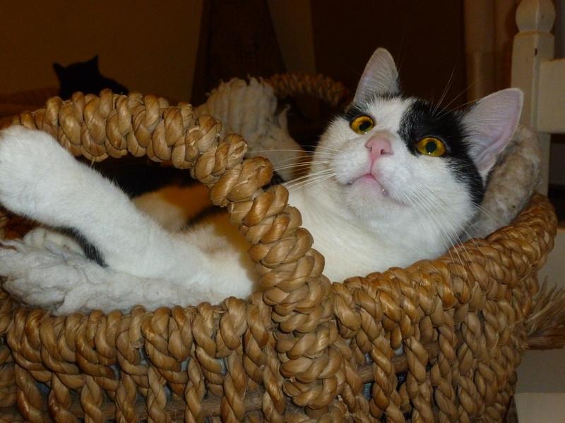 MACHA, très belle chatte junior de 8 mois, noire et blanche - Page 3 P1040724