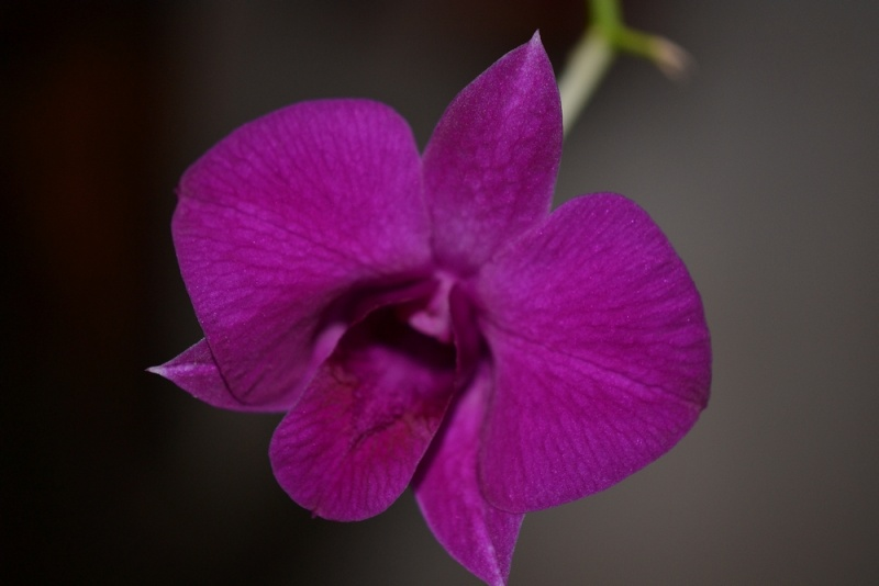 Dendrobium type phalaenopsis  Den_ph10