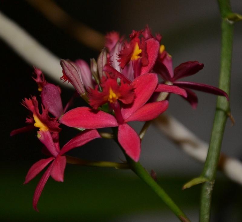 Epidendrum ballerina Epi_ba17