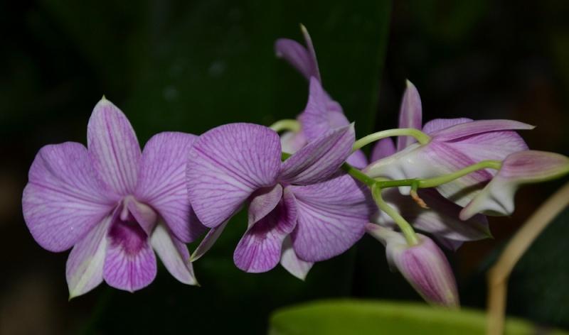 Dendrobium Phalaenopsis Sans_t12