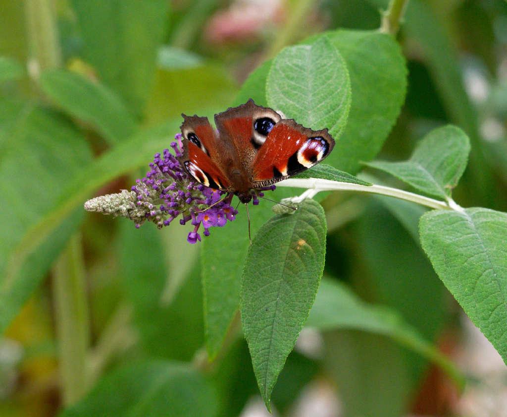 Sur l'arbre à papillons P6272610