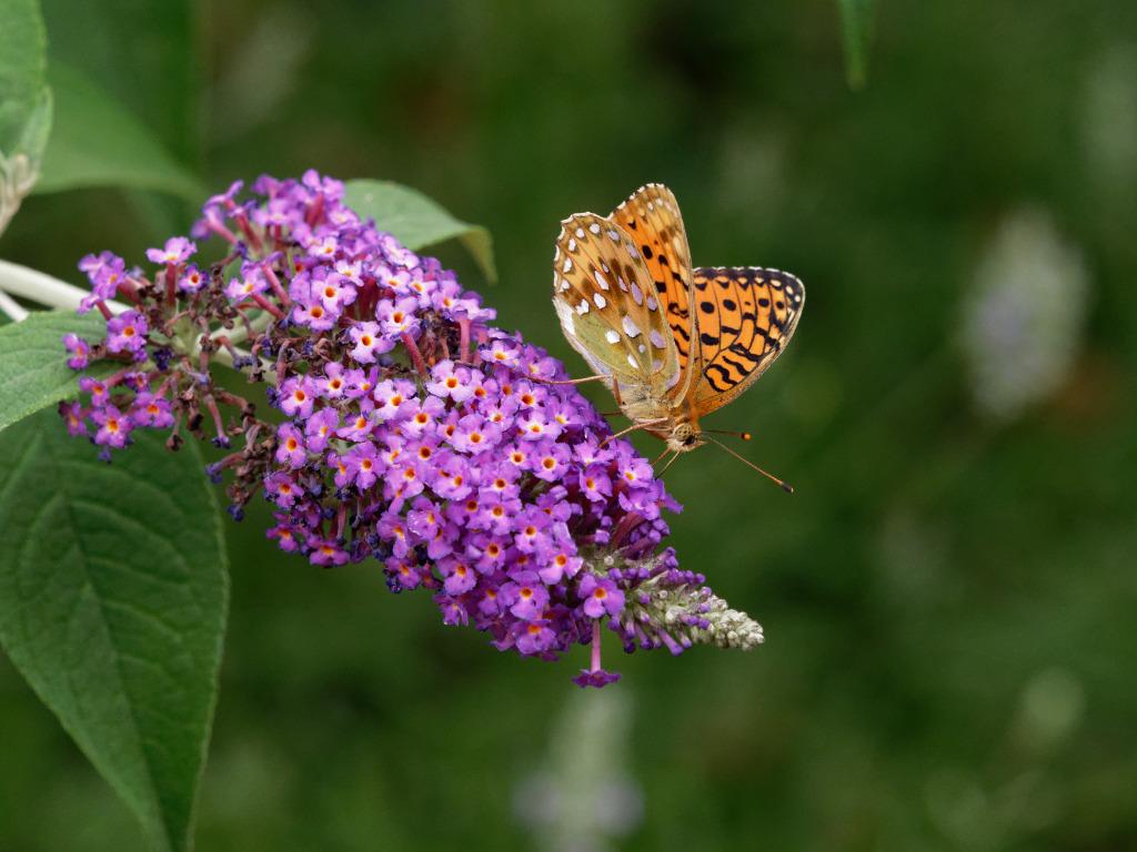Sur l'arbre à papillons P6272710