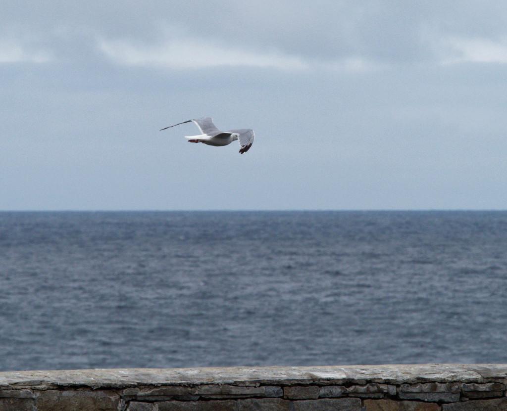 LPO à l'île grande (22) P8290212