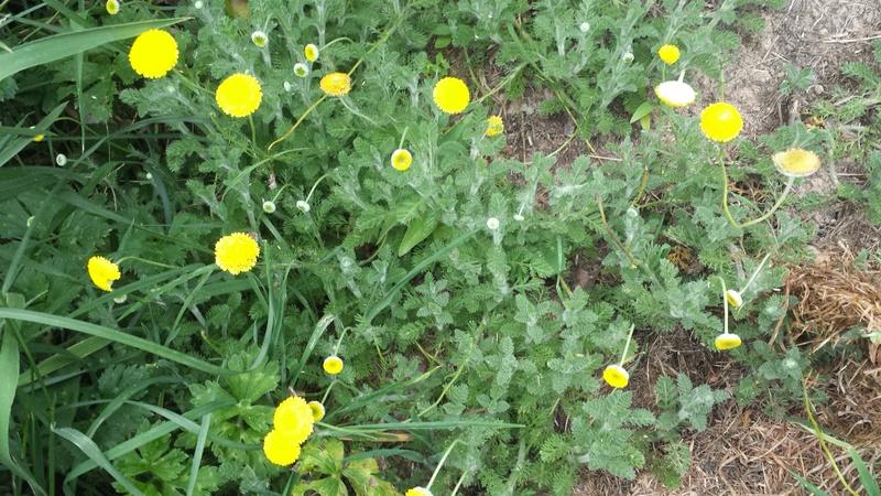 ces quelques fleurs de nos jardins - Page 4 20170611
