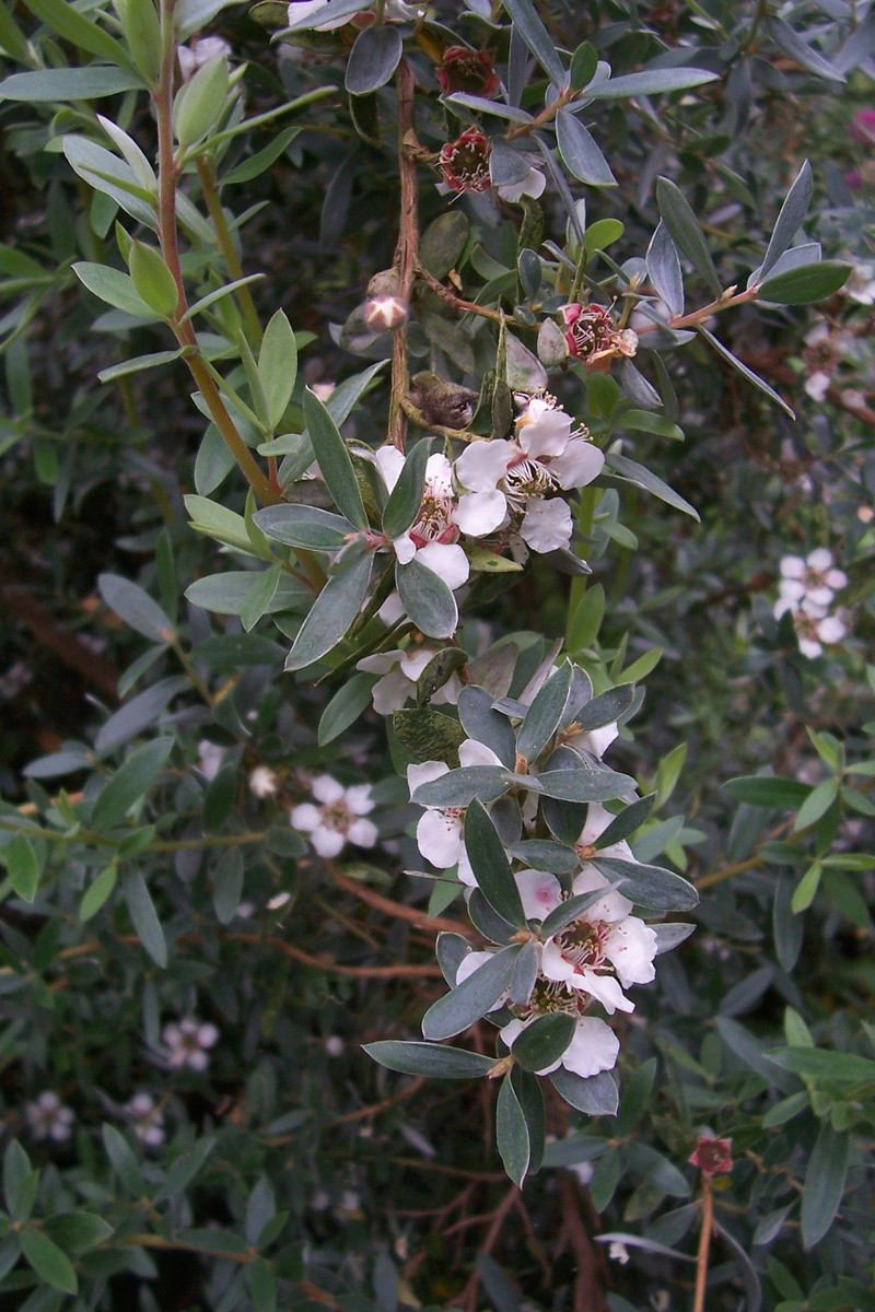 Leptospermum 'Silver Sheen' [identification] Leptos10
