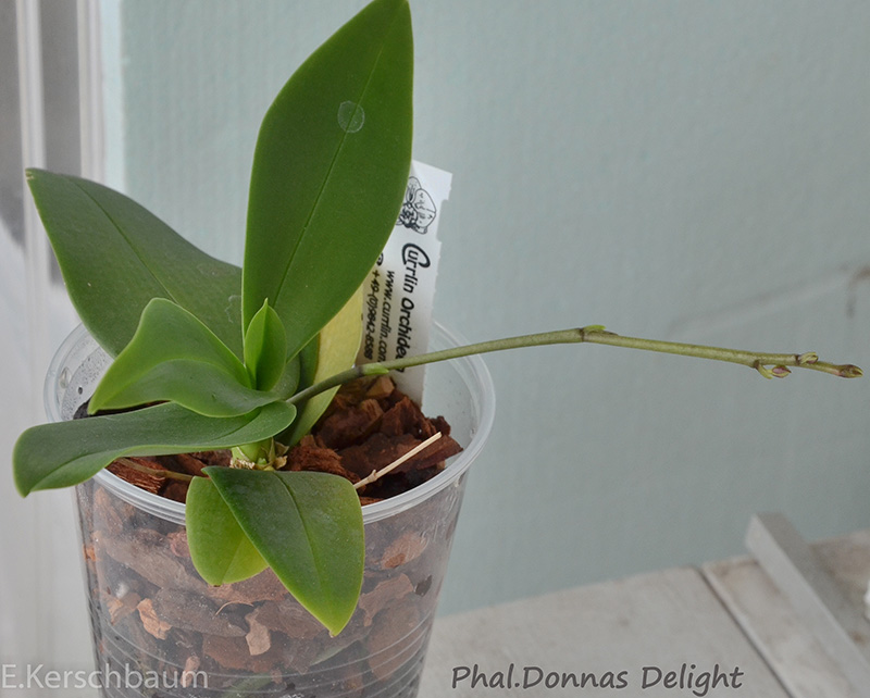 Phalaenopsis equestris x finleyi (Donna's Delight ) Csc_0015