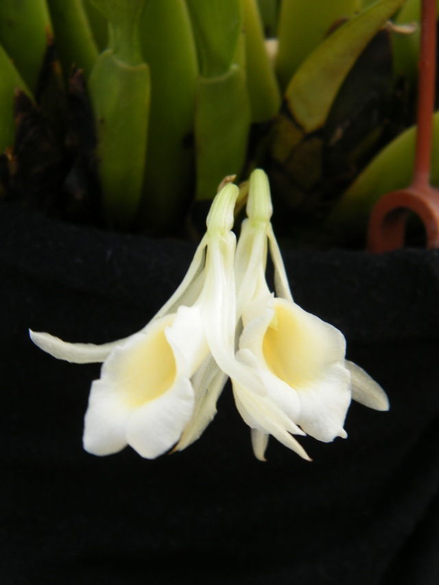 Trichopilia rostrata 039_210