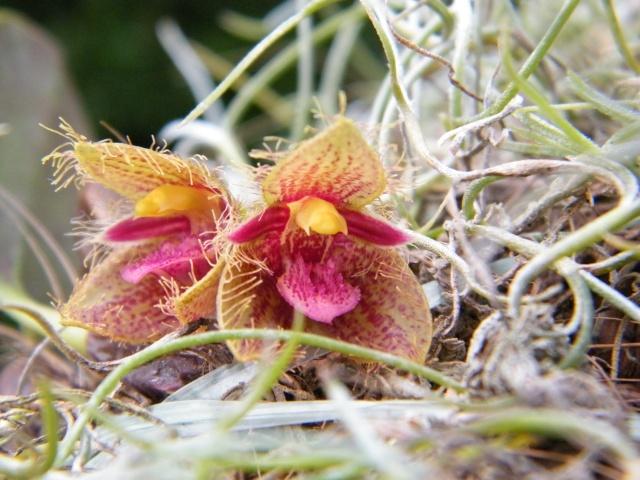 Bulbophyllum dayanum  211310