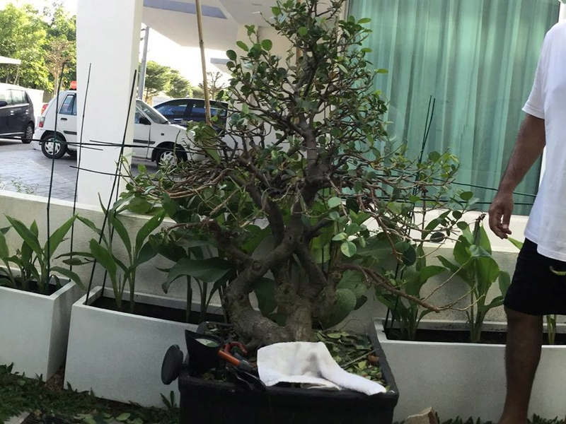 ficus in a large pot Fivcus10