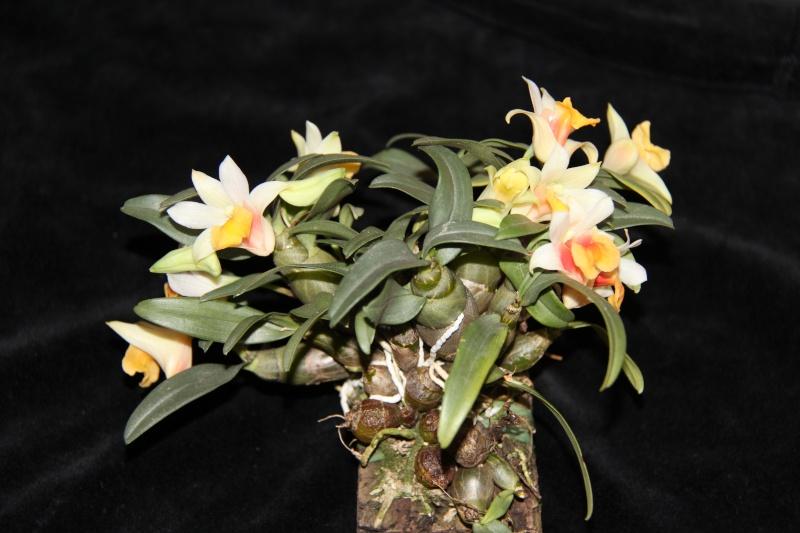Dendrobium bellatulum Img_3610