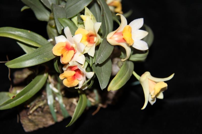 Dendrobium bellatulum Img_3611