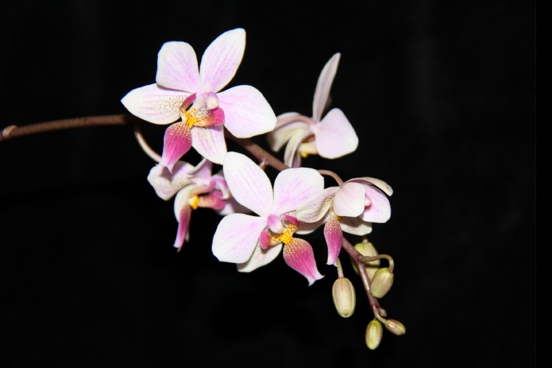 Phalaenopsis Cassandra Phal_c10