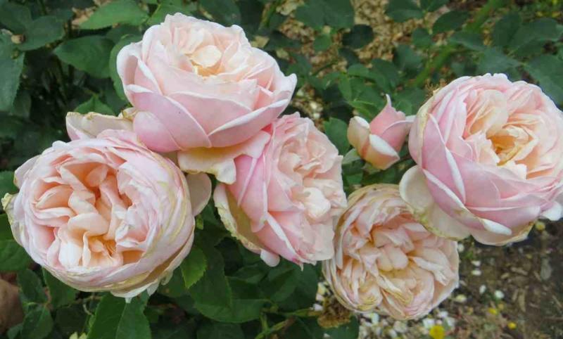 rosier belle romantica Belle_11