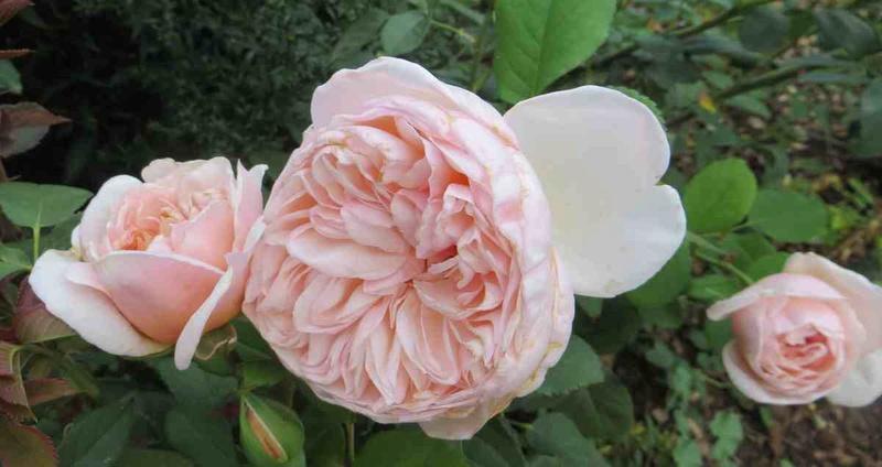 rosier belle romantica Belle_17