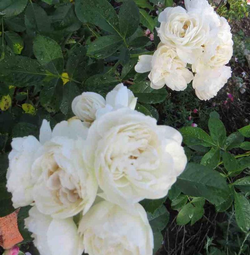 Rosa 'Bouquet Parfait' !!! - Page 7 Bouque10