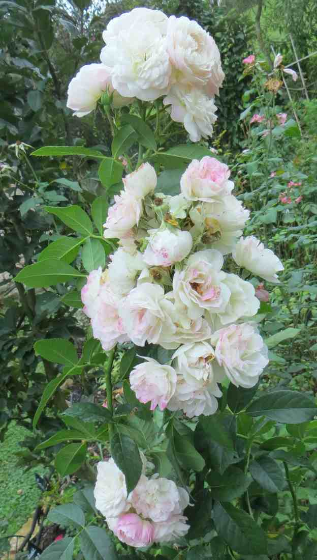 Rosa 'Bouquet Parfait' !!! - Page 7 Bouque12