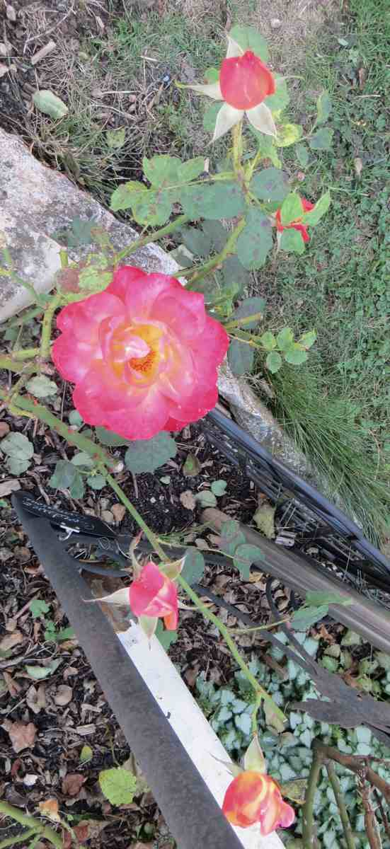 rosa France libre France10