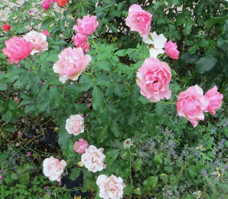 Rosa 'Jean Cocteau' - Page 3 Jean_c10