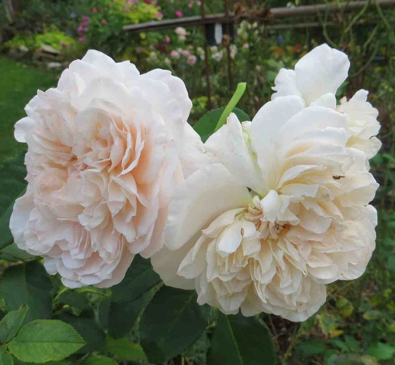 rose de Tolbiac Rose_d12