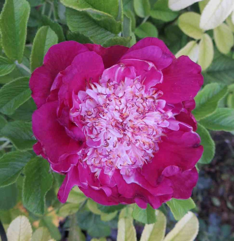rosier souvenir de trélazé - Page 7 Souven10