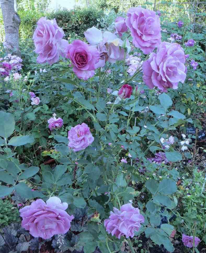 Rosa 'Violette Parfumée !!! - Page 4 Violet11