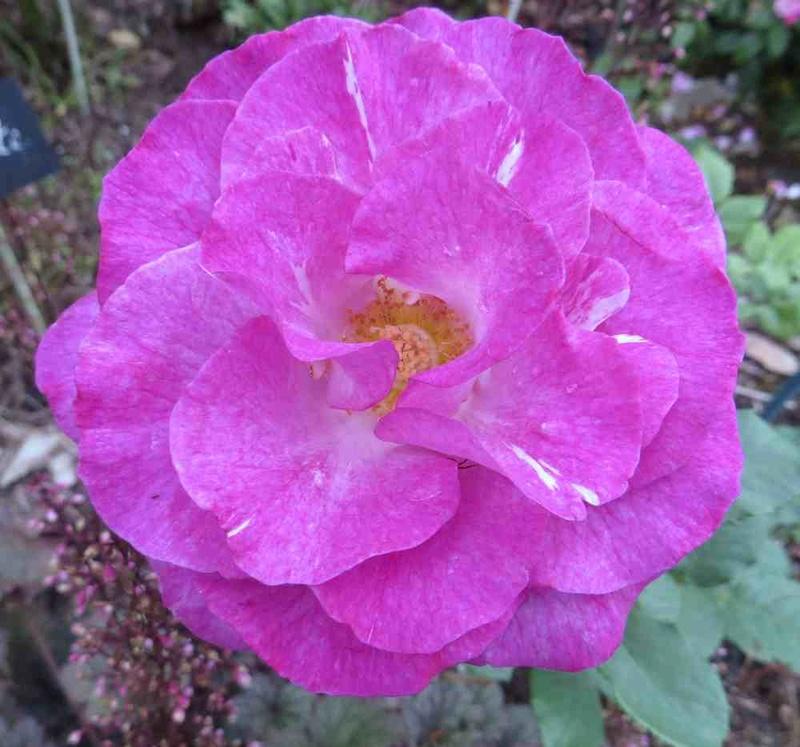 Rosa 'Violette Parfumée !!! - Page 4 Violet12
