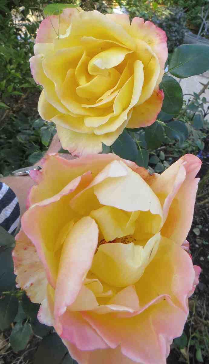rosier émeraude d'or Ymerau12