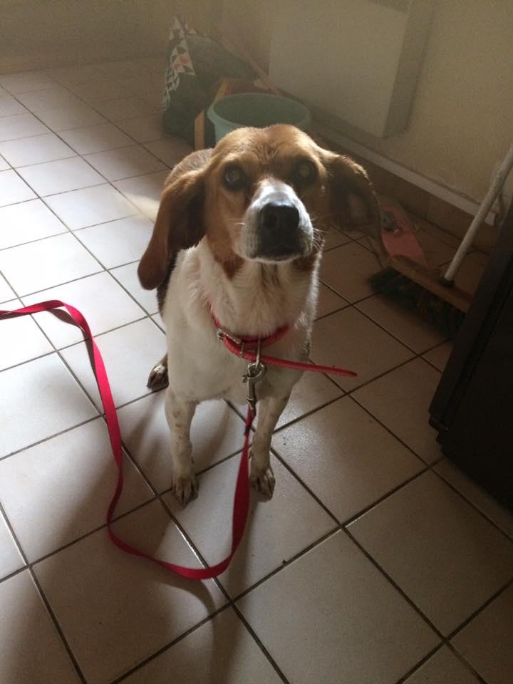 MOKA, femelle beagle harrier, 7 ans Moka110