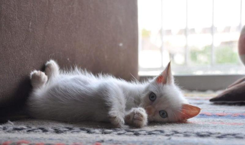 STITCH, mâle chaton européen, 1 mois Stitch10