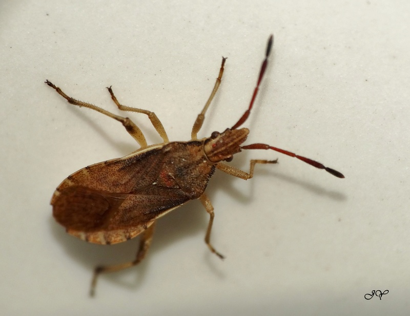 [Drymus brunneus_Rhyparochromus vulgaris_Scolopostethus sp._Lygocoris pabulinus_Nabis sp._Ceraleptus lividus] Punaises septembre. 26_sep10