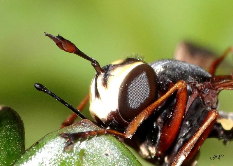 Conopidae.  Ant_ro10