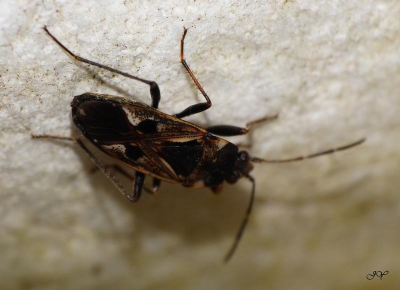 [Drymus brunneus_Rhyparochromus vulgaris_Scolopostethus sp._Lygocoris pabulinus_Nabis sp._Ceraleptus lividus] Punaises septembre. Famill10