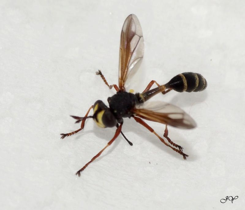Conopidae.  Physoc10