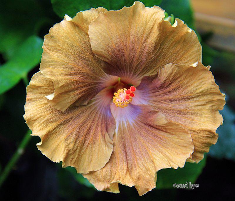 Hibiscus - alle Arten, Zuchtformen ... Erfahrungsberichte, Aussaat und selbstverständlich Bilder :) - Seite 10 Moorea10