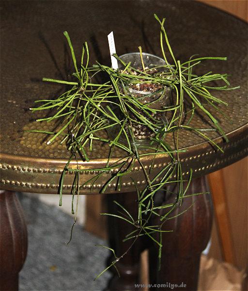 Hoyablüten 2012 - Seite 5 Retusa10