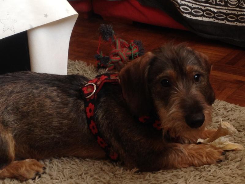 [Clos]Visite post adoption (chien) à Mont Dol pour Pty Zoum Img_0910