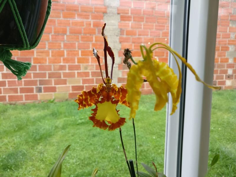 psychopsis mariposa Img_2055