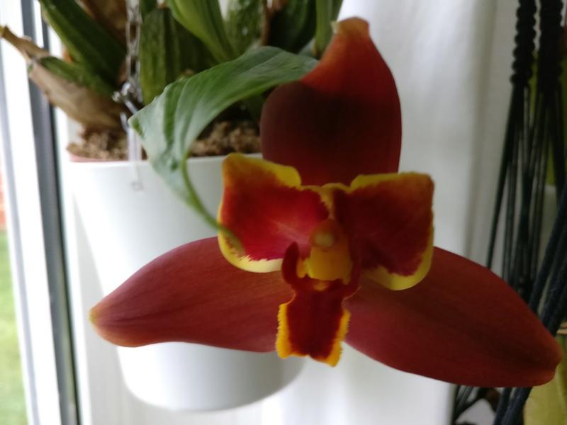 Lycaste macrophylla x Angulocaste red jewel Img_2059