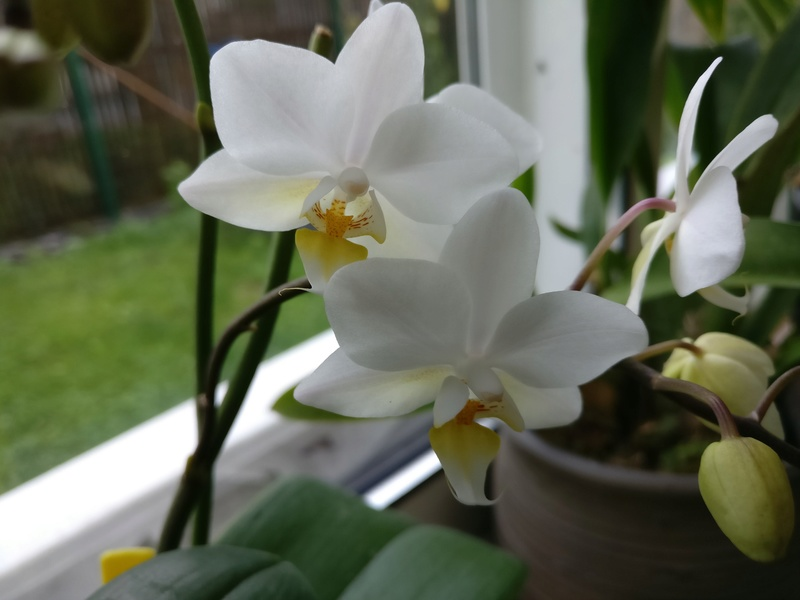 phalaenopsis chantilly Img_2061